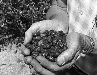 jojoba oil seeds