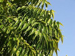 neem leaves and multani mitti for oily skin
