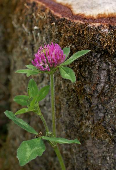 red clover for treating acne
