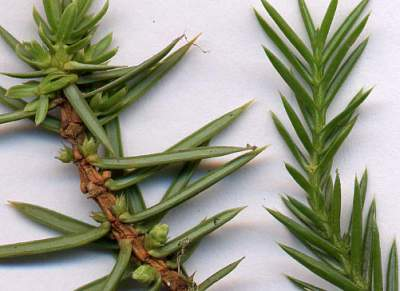 juniper oil for cellulite