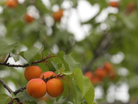 benefits of apricot oil for skin