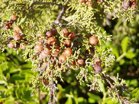 juniper berry oil benefits